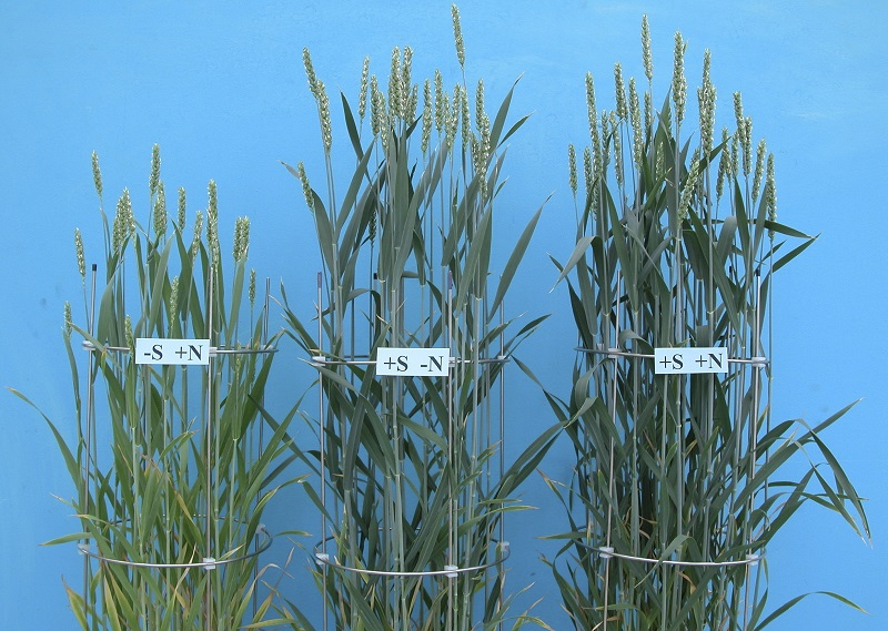 nitrogen and sulfur on wheat