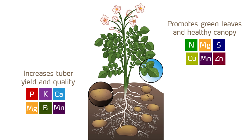 nutrients by potato growth stage